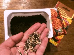 Підготовка насіння на розсаду чорнобривців - фото.