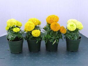 Особливості догляду за квітами - чорнобривцями