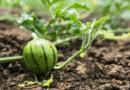 Коли садити кавун на розсаду в 2021 році за місячним календарем: сприятливі дні для посіву насіння кавунів