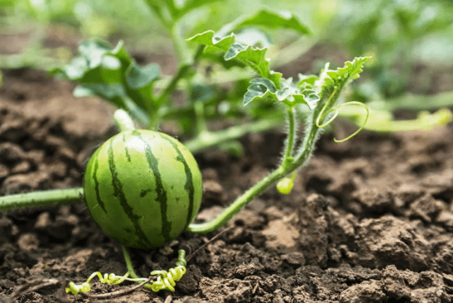 Кавун: вирощування з насіння розсадою, посадка й догляд