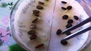 Прогрівання і замочування насіння