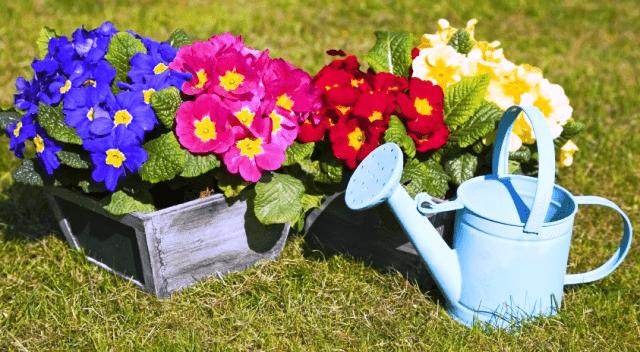 Садова примула: вирощування, посадка та догляд у відкритому грунті