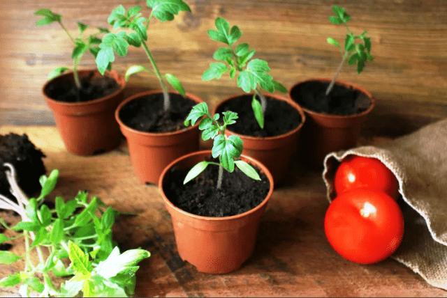 Коли висаджувати томати на розсаду в 2021: поради, сприятливі дні
