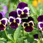 Вирощування Віоли з насіння: коли садити, посадка, догляд, види і сорти