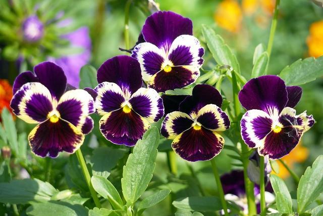 Віола: посадка і догляд у відкритому грунті, вирощування