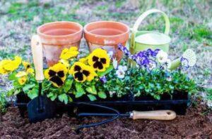 Коли садити віолу на розсаду і у відкритий грунт в 2021 році