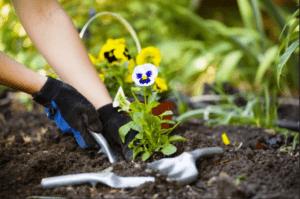 Догляд за квітами віоли після висадки у відкритий грунт