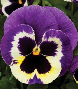 Віттрока - квітка віола - фото